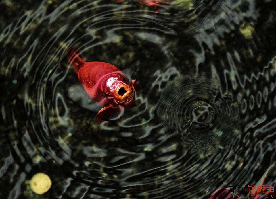 嘴部特写来一波 西安观赏鱼信息 西安博特第8张