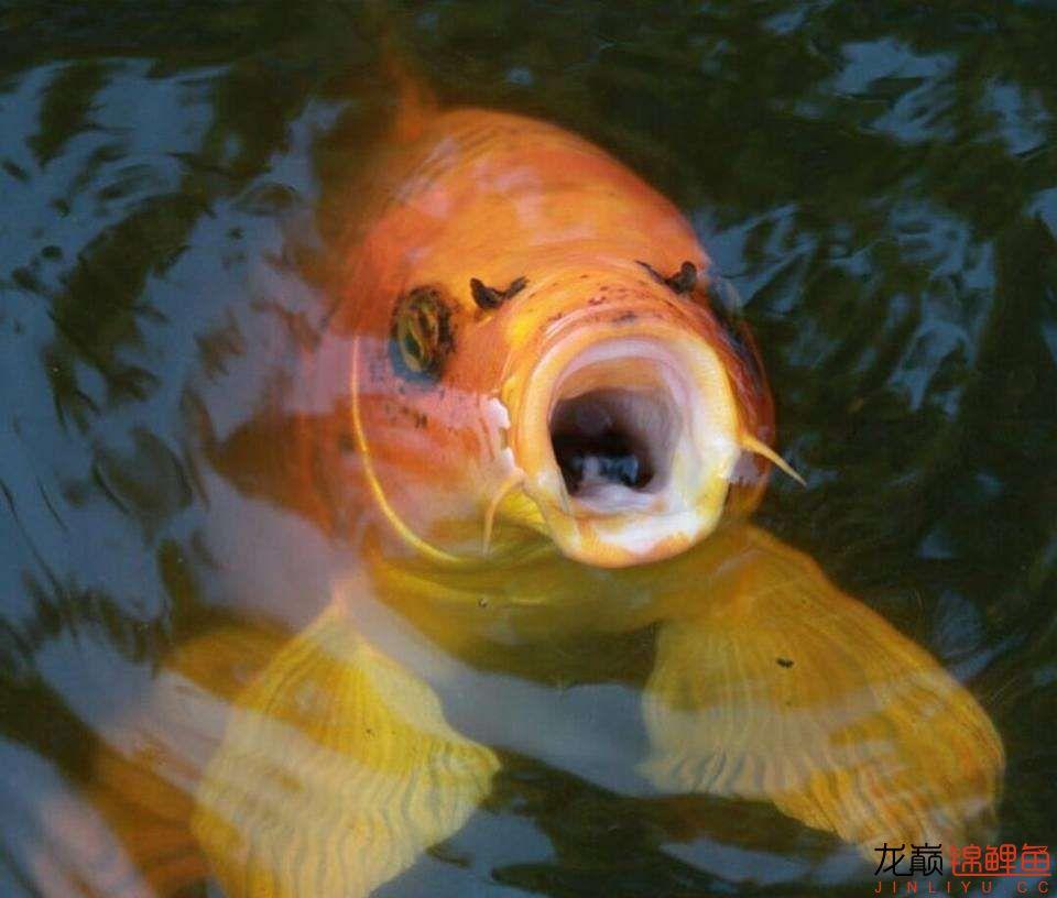 嘴部特写来一波 西安观赏鱼信息 西安博特第10张