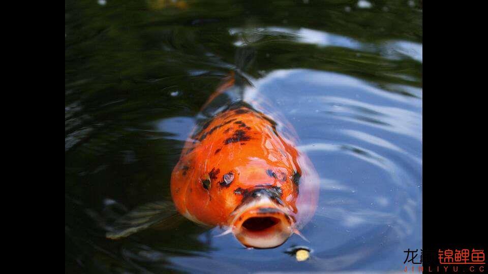 嘴部特写来一波 西安观赏鱼信息 西安博特第13张