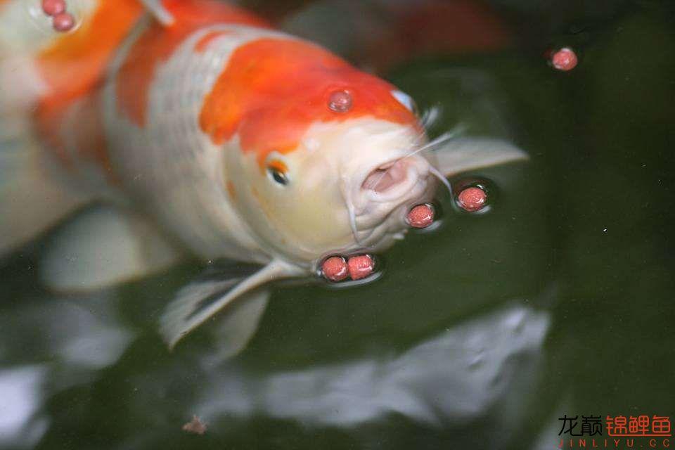 嘴部特写来一波 西安观赏鱼信息 西安博特第14张