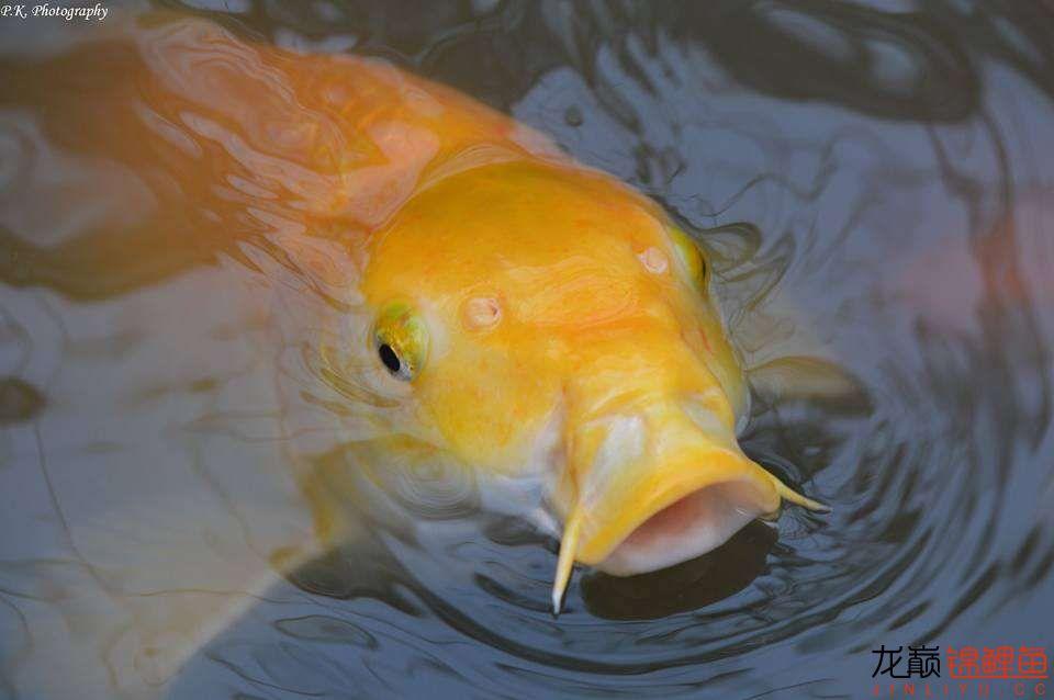嘴部特写来一波 西安观赏鱼信息 西安博特第15张