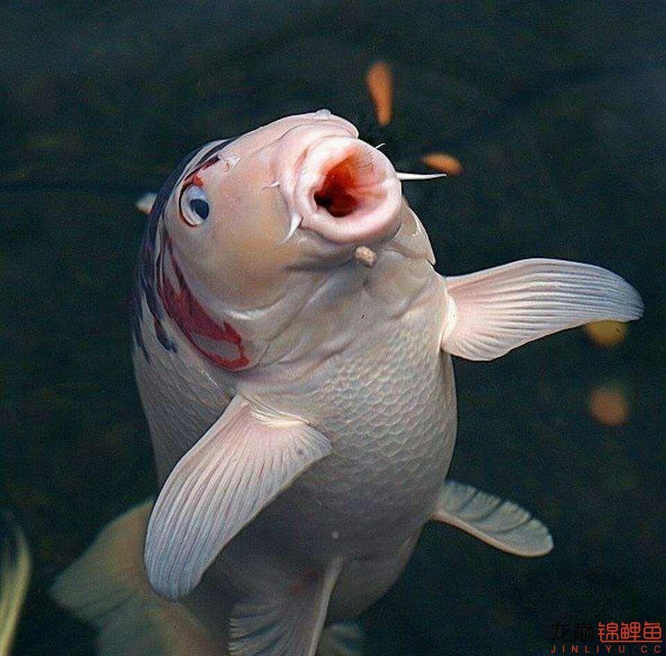 嘴部特写来一波 西安观赏鱼信息 西安博特第17张