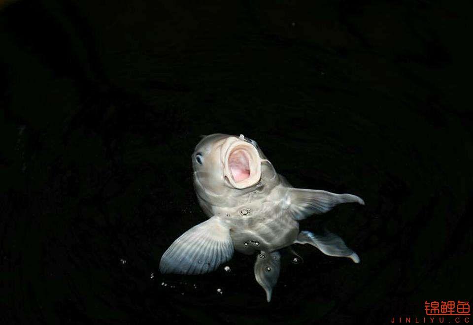 嘴部特写来一波 西安观赏鱼信息 西安博特第18张