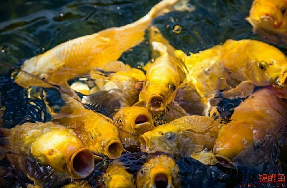 嘴部特写来一波 西安观赏鱼信息 西安博特第19张