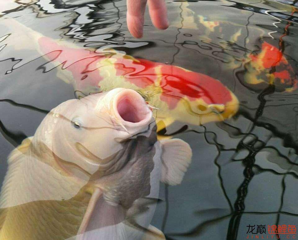 嘴部特写来一波 西安观赏鱼信息 西安博特第21张