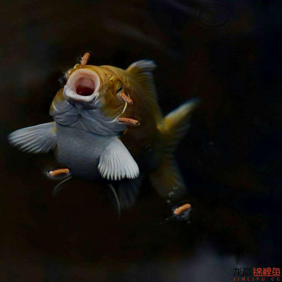 嘴部特写来一波 西安观赏鱼信息 西安博特第22张