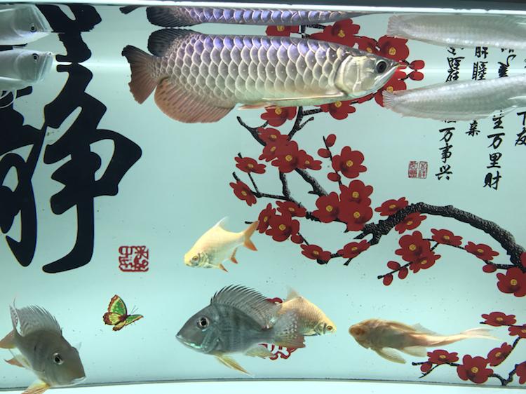 我这小金跟李亚四的有得一比吗 西安观赏鱼信息 西安博特第1张