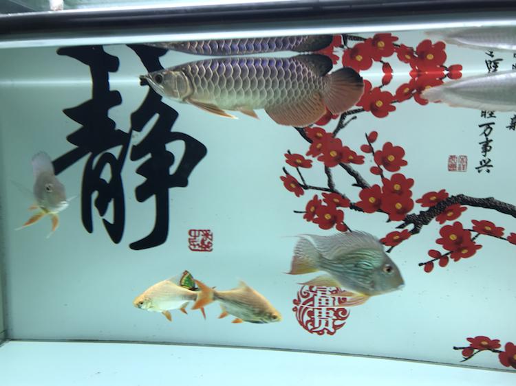 我这小金跟李亚四的有得一比吗 西安观赏鱼信息 西安博特第2张
