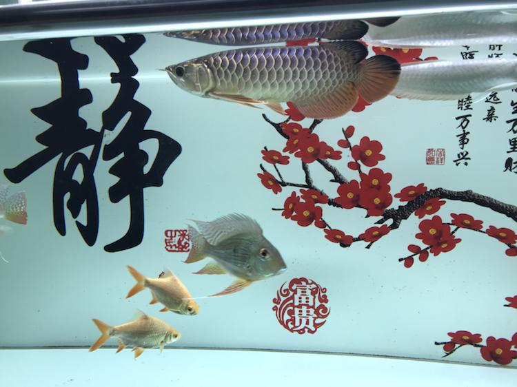 我这小金跟李亚四的有得一比吗 西安观赏鱼信息 西安博特第3张