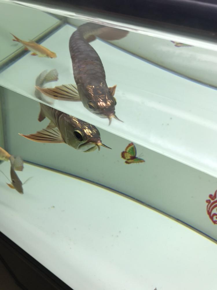 我这小金跟李亚四的有得一比吗 西安观赏鱼信息 西安博特第5张