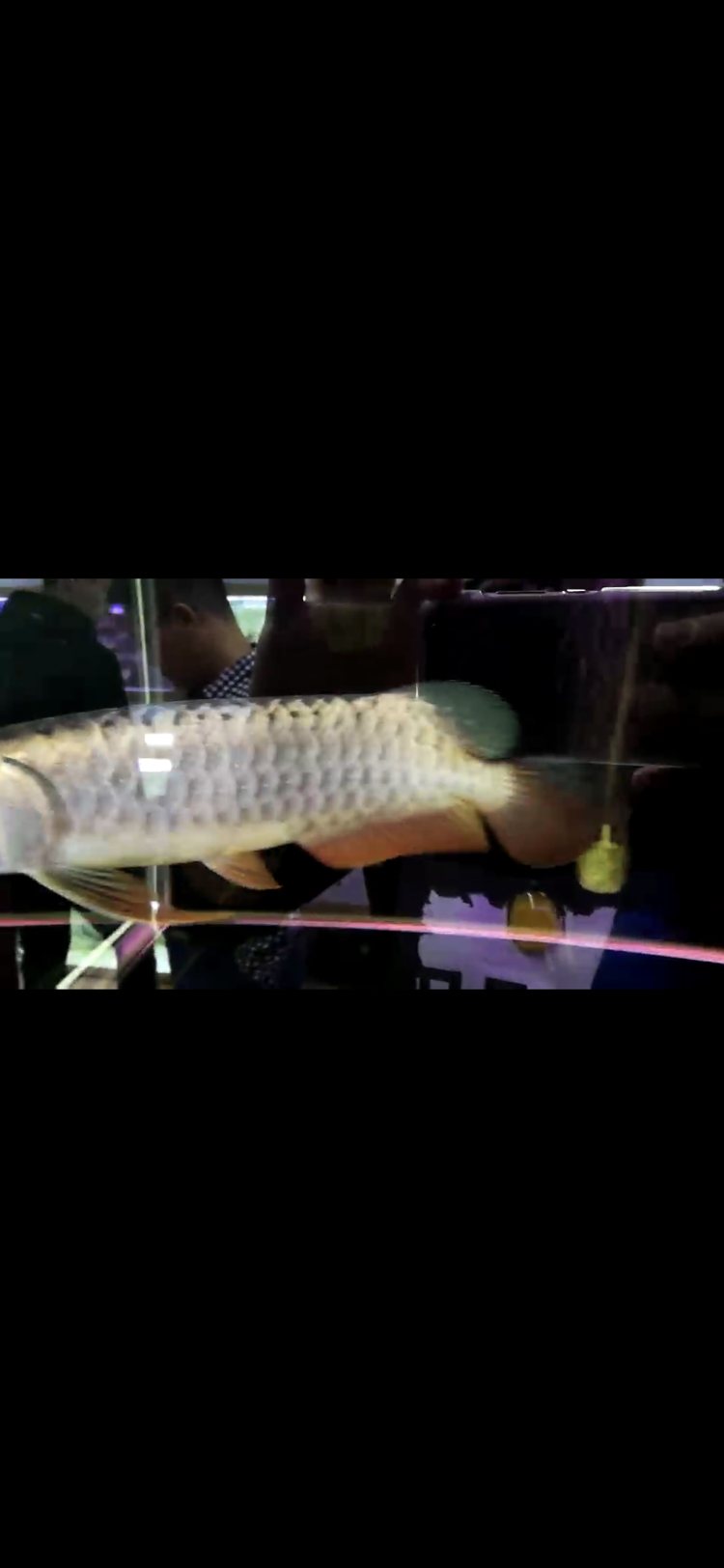 【西安豹纹夫】这只轻微掉眼的头全金龙鱼值不值 西安龙鱼论坛 西安博特第2张