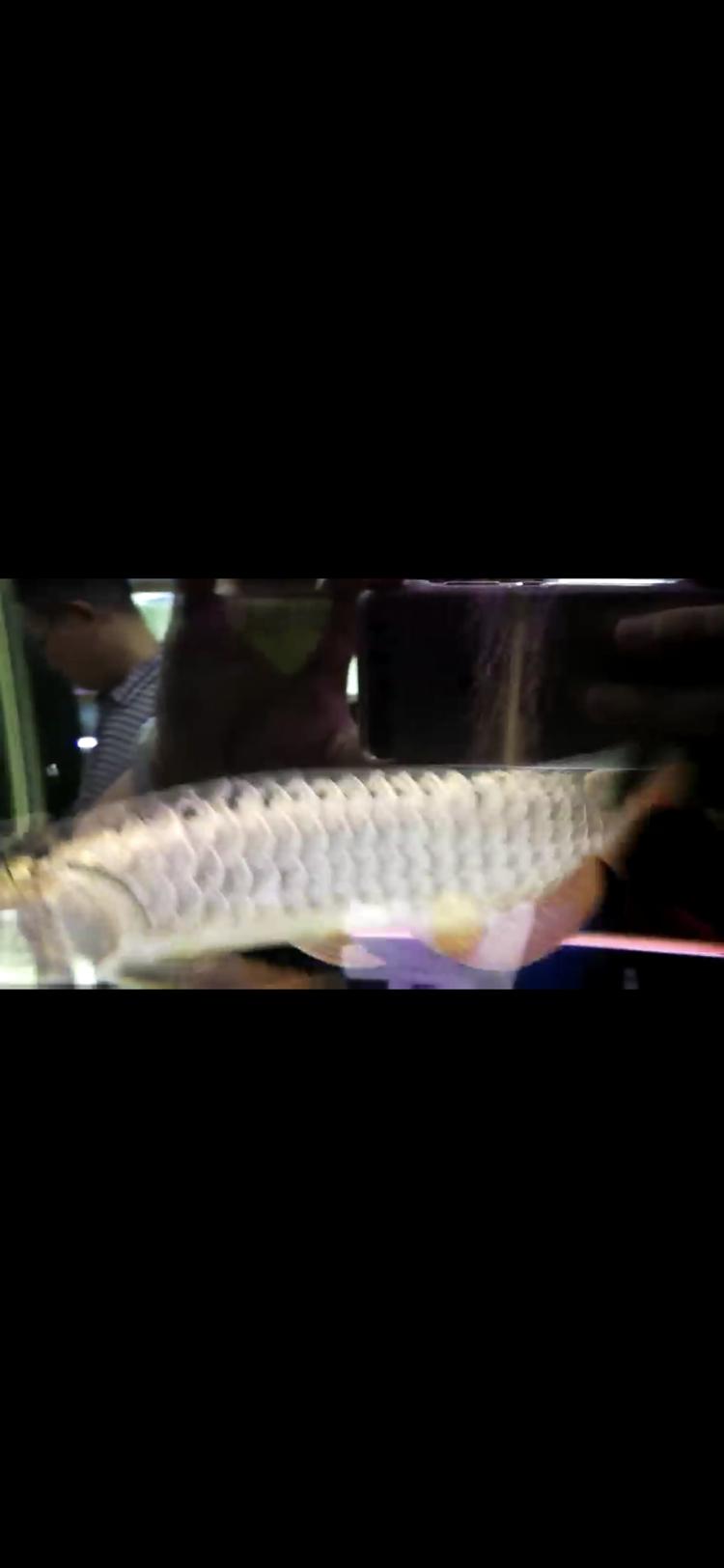 【西安豹纹夫】这只轻微掉眼的头全金龙鱼值不值 西安龙鱼论坛 西安博特第3张