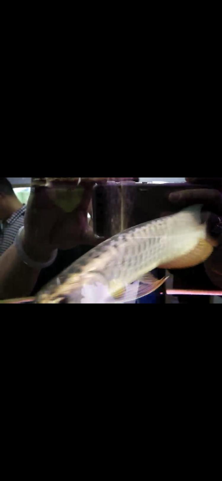 【西安豹纹夫】这只轻微掉眼的头全金龙鱼值不值 西安龙鱼论坛 西安博特第4张