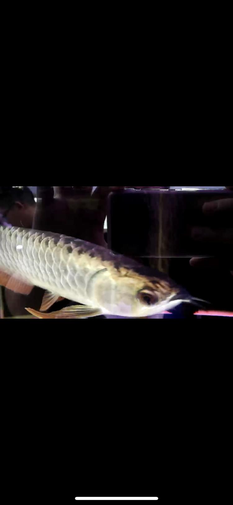 【西安豹纹夫】这只轻微掉眼的头全金龙鱼值不值 西安龙鱼论坛 西安博特第7张