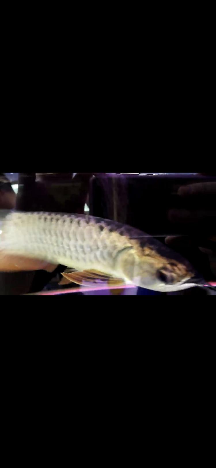 【西安豹纹夫】这只轻微掉眼的头全金龙鱼值不值 西安龙鱼论坛 西安博特第6张