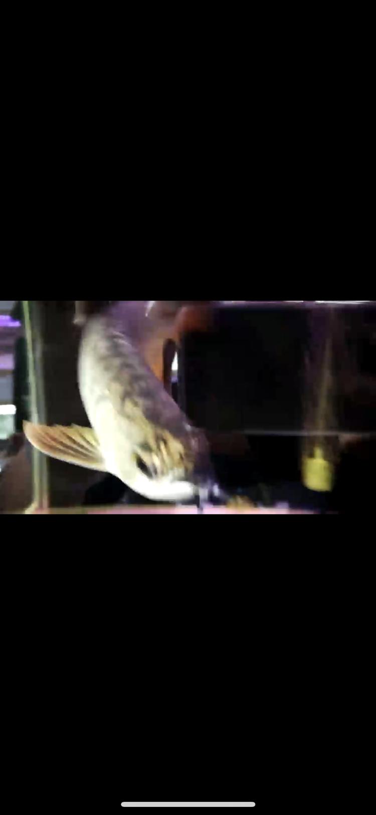【西安豹纹夫】这只轻微掉眼的头全金龙鱼值不值 西安龙鱼论坛 西安博特第8张