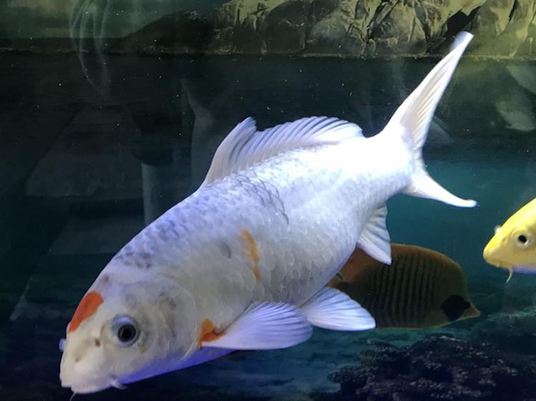 小土炮可爱吧 西安观赏鱼信息 西安博特第2张