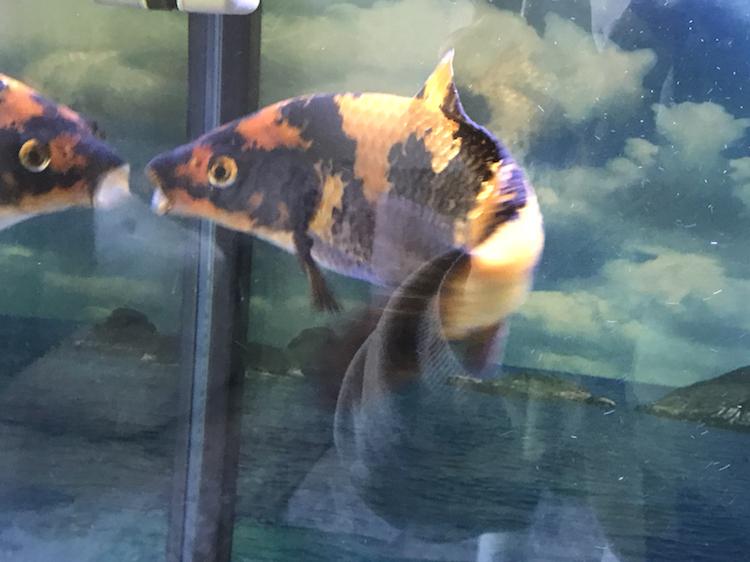 小土炮可爱吧 西安观赏鱼信息 西安博特第4张