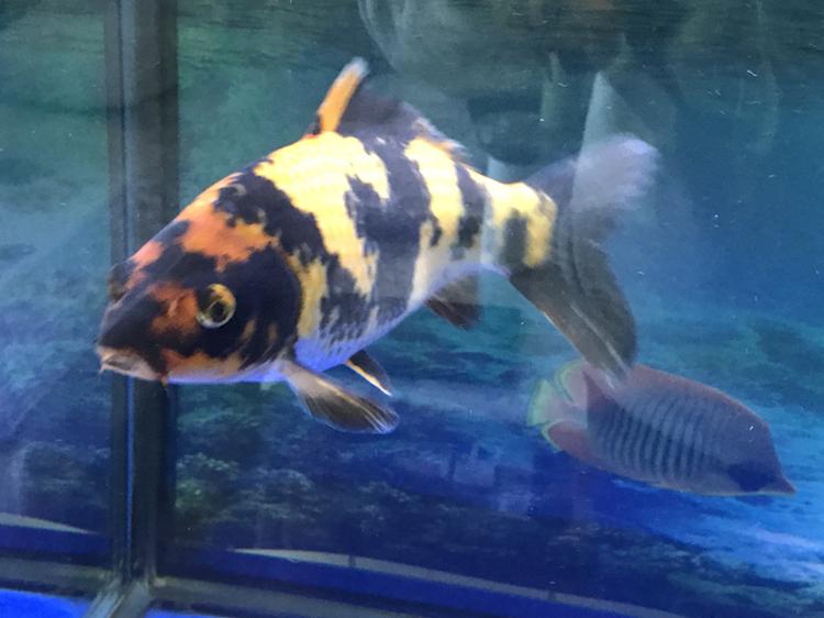 小土炮可爱吧 西安观赏鱼信息 西安博特第5张