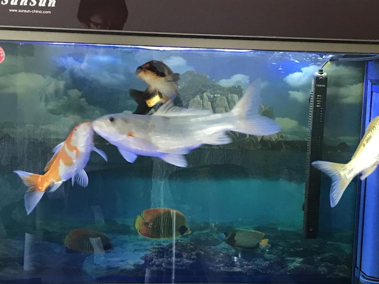 小土炮可爱吧 西安观赏鱼信息 西安博特第6张