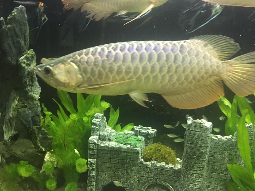 【西安龙鱼市场】大金与大红