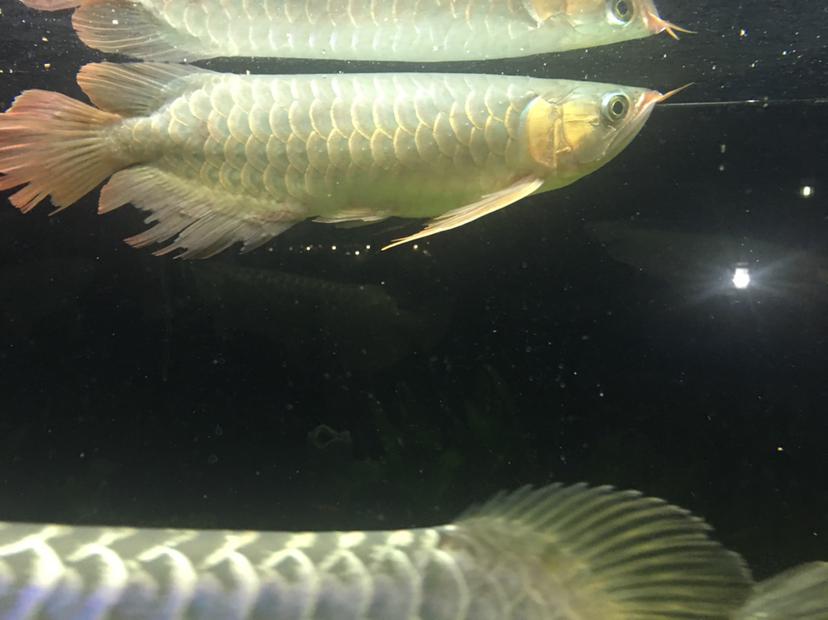 【西安龙鱼市场】大金与大红 西安龙鱼论坛 西安博特第3张