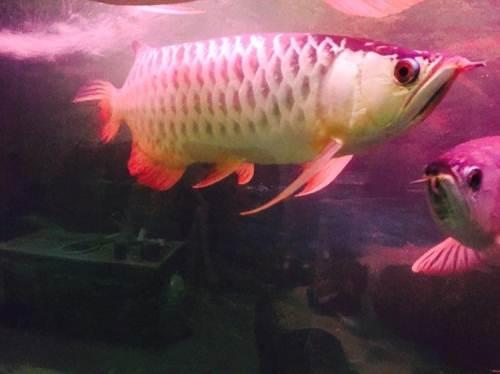 【西安龙鱼市场】大金与大红 西安龙鱼论坛 西安博特第4张