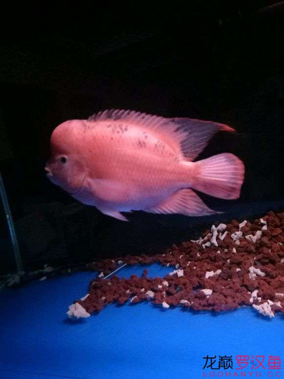 【西安鱼市在哪】传统红马初养成艰辛的过程5月1日入手 西安龙鱼论坛 西安博特第4张