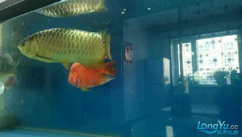 养了三年的龙鱼以前高背一条看我老帖子 西安观赏鱼信息 西安博特第2张