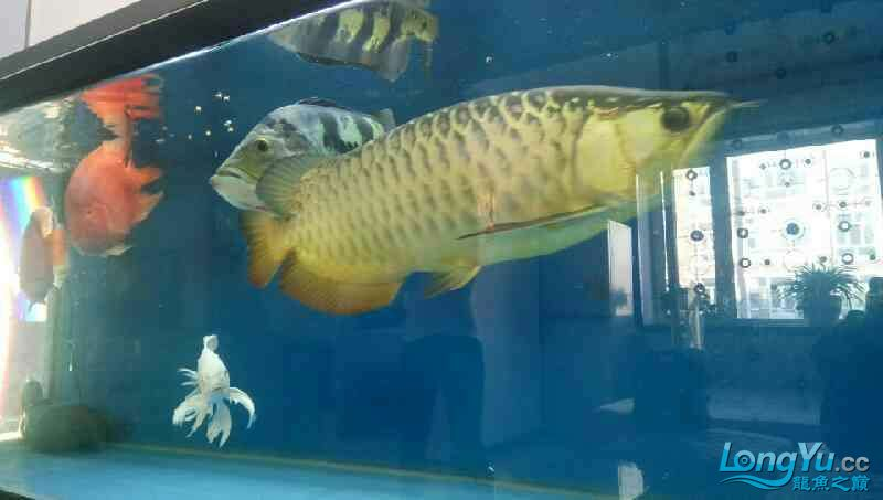 养了三年的龙鱼以前高背一条看我老帖子 西安观赏鱼信息 西安博特第1张