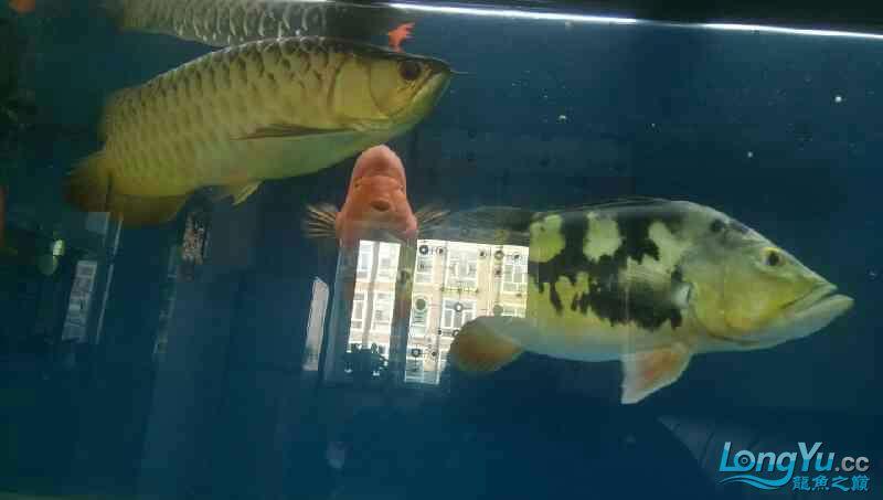 养了三年的龙鱼以前高背一条看我老帖子 西安观赏鱼信息 西安博特第3张