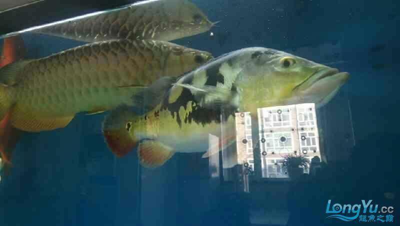 养了三年的龙鱼以前高背一条看我老帖子 西安观赏鱼信息 西安博特第4张