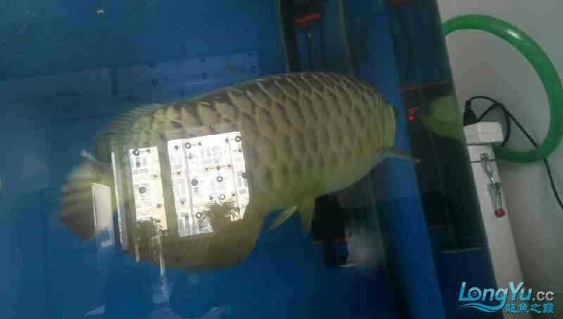 养了三年的龙鱼以前高背一条看我老帖子 西安观赏鱼信息 西安博特第5张