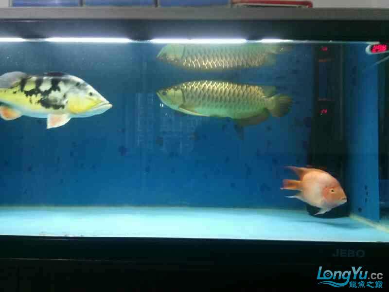 养了三年的龙鱼以前高背一条看我老帖子 西安观赏鱼信息 西安博特第6张