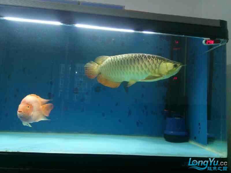 养了三年的龙鱼以前高背一条看我老帖子 西安观赏鱼信息 西安博特第7张