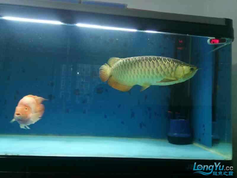 养了三年的龙鱼以前高背一条看我老帖子 西安观赏鱼信息 西安博特第8张
