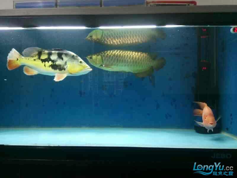 养了三年的龙鱼以前高背一条看我老帖子 西安观赏鱼信息 西安博特第9张