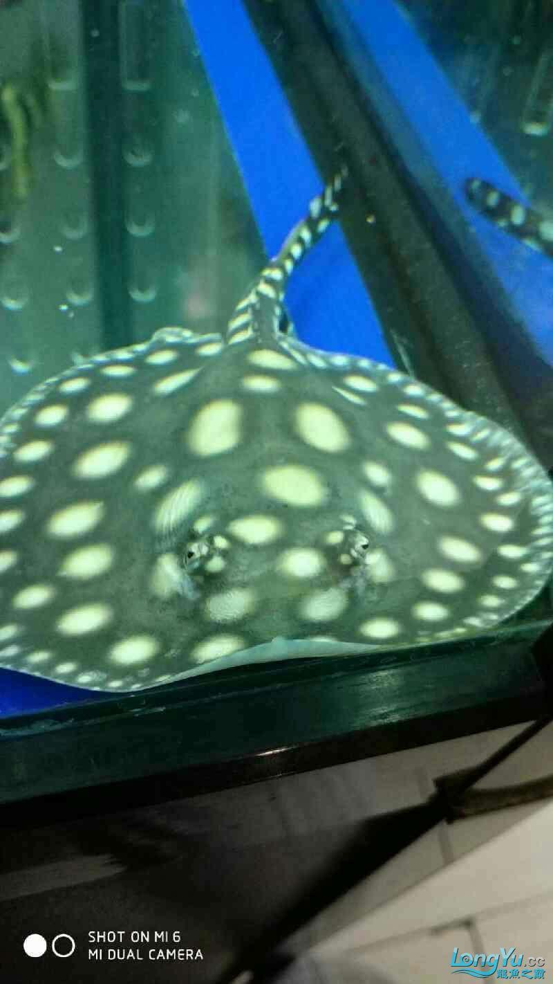 鱼友说这个不是皇冠是皇冠黑金 西安龙鱼论坛 西安博特第4张