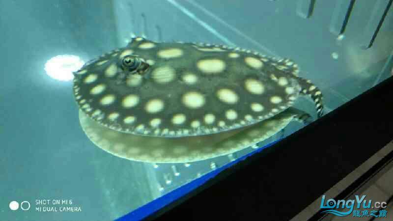 鱼友说这个不是皇冠是皇冠黑金 西安龙鱼论坛 西安博特第5张