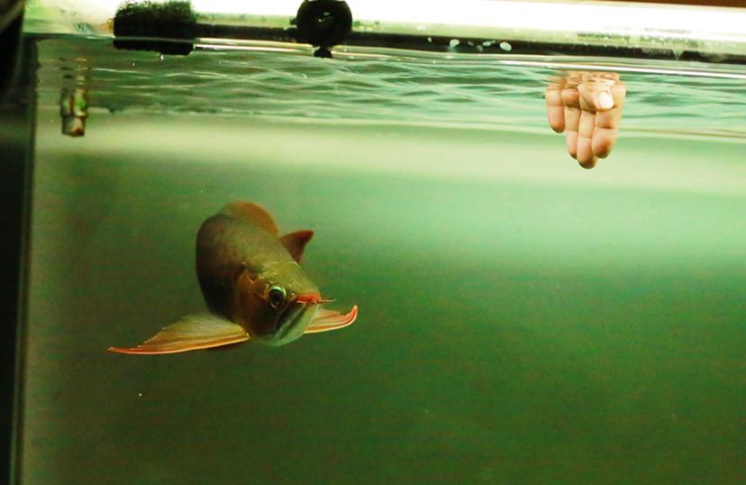 给朋友拍了几张小红龙 西安龙鱼论坛 西安博特第2张