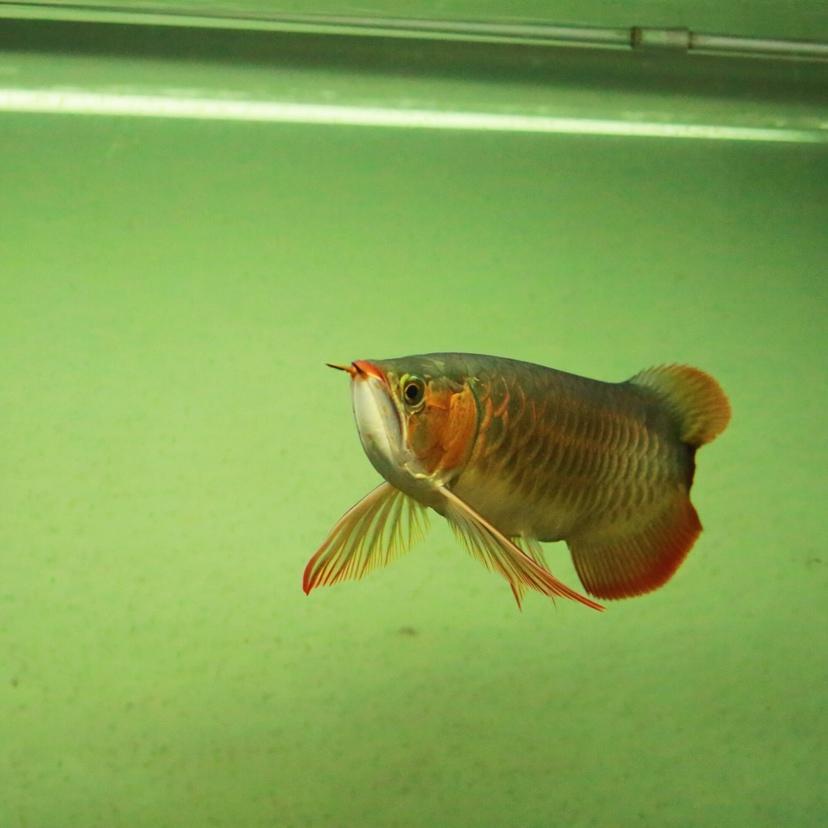 给朋友拍了几张小红龙 西安龙鱼论坛 西安博特第3张