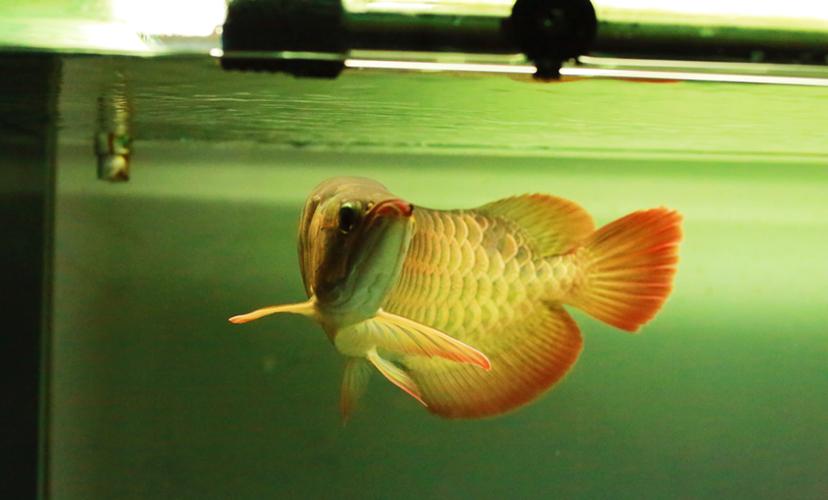 给朋友拍了几张小红龙 西安龙鱼论坛 西安博特第7张