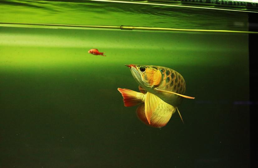 给朋友拍了几张小红龙 西安龙鱼论坛 西安博特第8张