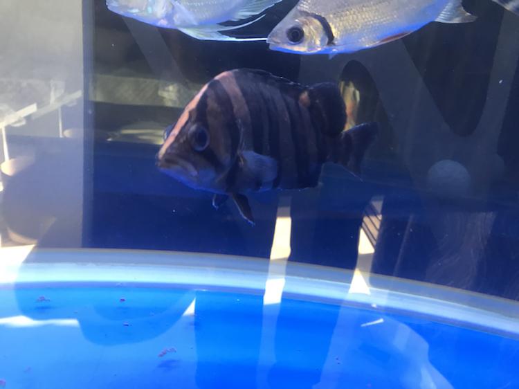 【西安女王大帆鱼】金龙用什么灯好用几根分别开多长时间 西安观赏鱼信息 西安博特第1张