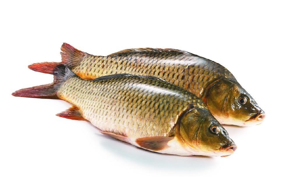 【西安女王大帆鱼】金龙用什么灯好用几根分别开多长时间 西安观赏鱼信息 西安博特第2张