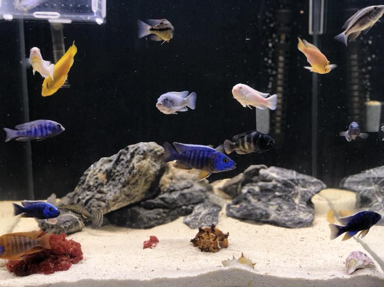 【西安哪家卖虎鱼】三个月鱼儿长得挺肥 西安观赏鱼信息 西安博特第1张