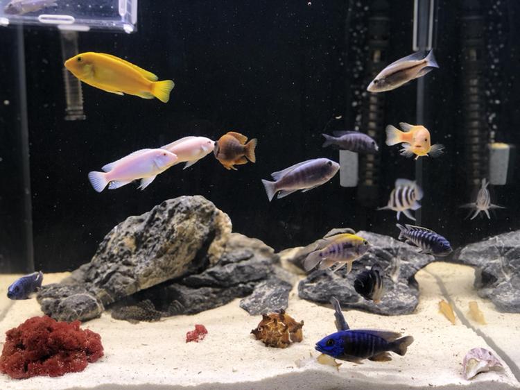 【西安哪家卖虎鱼】三个月鱼儿长得挺肥 西安观赏鱼信息 西安博特第2张