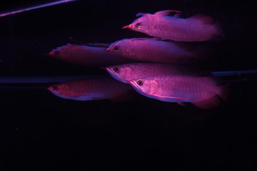 关于打架和爆藻的问题 西安观赏鱼信息 西安博特第3张