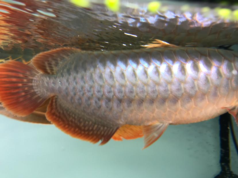 养了三个月的三无小红龙请大神指教 西安观赏鱼信息 西安博特第1张