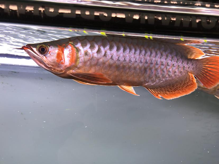 养了三个月的三无小红龙请大神指教 西安观赏鱼信息 西安博特第4张